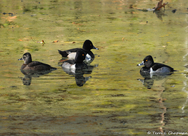 Ring-necked Ducks (three males and a female)