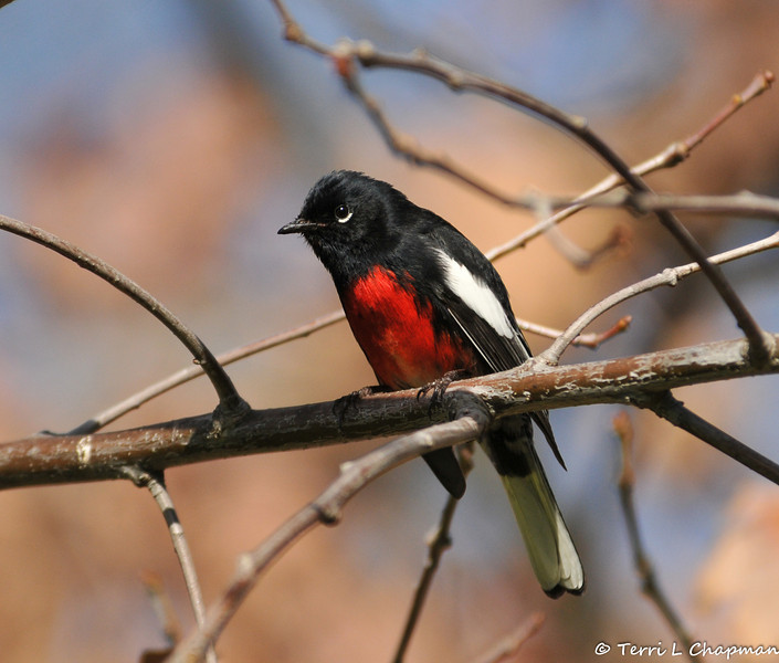 An adult male Painted Redstart. The Painted Redstart is a native to Arizona, New Mexico and western Texas;  and spends winters south of the U.S.-Mexico border. Because this bird was photographed in San Marino, CA in January 2013, it was considered a rare bird sighting for Los Angeles.