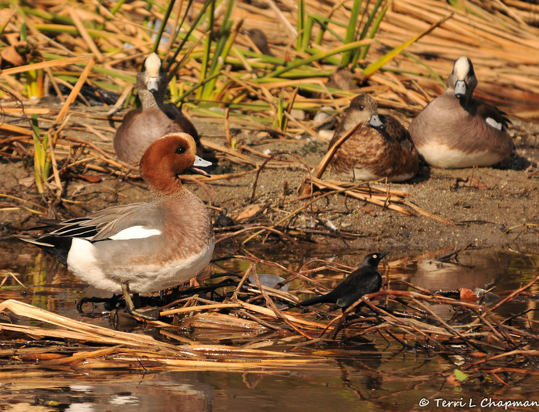 A Eurasian Wigeon (American Wigeons in the foreground) in the LA River