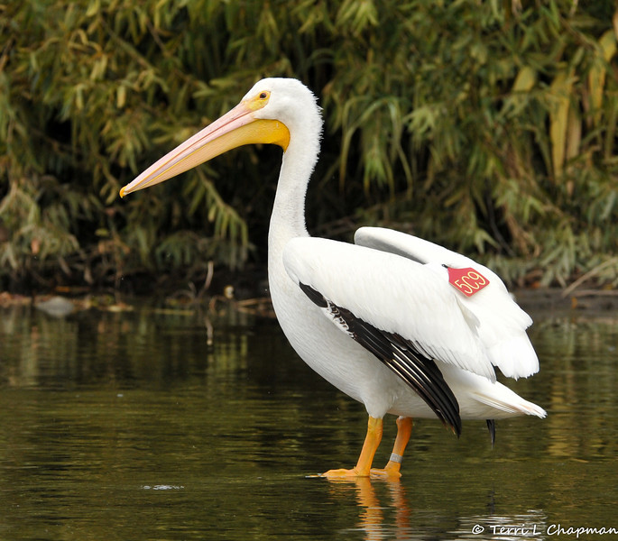 """Please meet American White Pelican #5C9 that I photographed Christmas morning 2012 in the LA River. I reported my """"tagged bird"""" sighting to the United States Geological Survey (USGS) and the USGS let me know that my pelican was banded on 7/14/11 in the Minidoka National Wildlife Refuge in Idaho, which is a designated Bird Area of Global Importance.  Pelican #5C9 was a fledgling when it was banded by Colleen Moulton, Avian Ecologist at Idaho Department of Fish and Game, in an effort to learn where pelicans """"roam"""" for the two to three years before their breeding and to gather important information about individual foraging and movement.<br /> <br /> In the three years I have been photographing birds, this is the first tagged bird I have photographed and on a special day to boot! It is vital for research that if you ever see a banded and/or tagged bird, to report your sighting to the USGS, which can be done easily on-line. Over 60 million birds have been banded since 1904 yet only 4 million have been reported. So, all that to say, Pelican #5C9 is one of the best xmas gifts ever and I am happy to see how well this bird is doing!"""