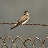 A Bank Swallow perched on the barbwire at the LA River