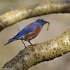 A male Western Bluebird with a caterpillar.