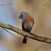A male Western Bluebird