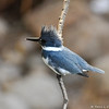 A male Belted Kingfisher