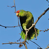A wild Red-crowned Parrot photographed in La Canada Flintridge, CA