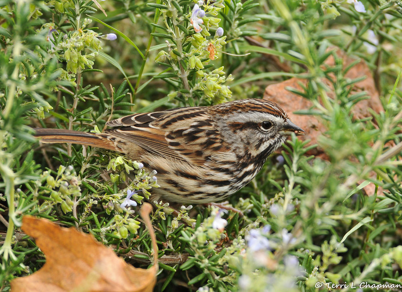 Song Sparrow eating seeds off a Rosemary bush