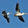 Banded and tagged American White Pelican #5C9 in flight (front pelican), flying with a friend