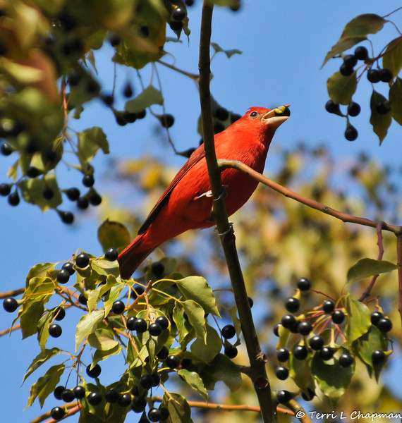 A male Summer Tanager eating a berry from a Camphor tree. This bird breeds from southern California, Nevada, Nebraska, and New Jersey, south to the Gulf Coast and northern Mexico, and spends winters in the tropics. Because this bird was photographed in Griffith Park, CA in January 2013, it is considered a rare bird sighting for the Los Angeles area.