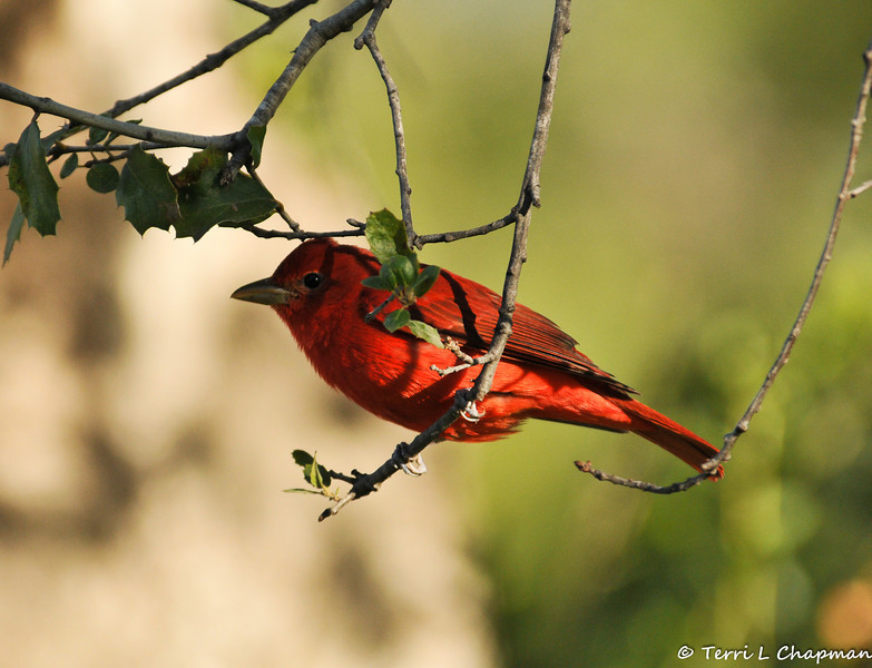 A male Summer Tanager. This bird breeds from southern California, Nevada, Nebraska, and New Jersey, south to the Gulf Coast and northern Mexico, and spends winters in the tropics. Because this bird was photographed in Griffith Park, CA in January 2013, it is considered a rare bird sighting for the Los Angeles area.