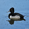 A Ring-necked Duck (male)
