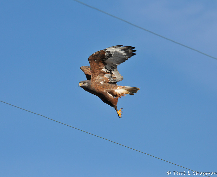 A Ferruginous Hawk (dark morph) photographed in Valyermo, CA