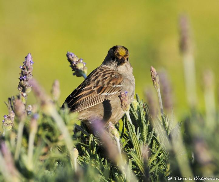 A Golden-crowned Sparrow perched on top of a Lavendar bush