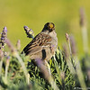 A Golden-crowned Sparrow perched on top of a Lavendar bush