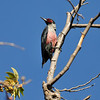 Lewis's Woodpecker photographed in Pacific Palisades, CA