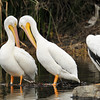 American White Pelican #5C9 that I photographed Christmas morning 2012 in the LA River (pelican on the right side of the picture) was again photographed on New Years Day 2013 with another banded pelican (left leg band, but no tag) and although I was only able to pull 5 numbers off the band (#0669-2) I did report this bird to the USGS in the hopes this bird can be identified as well.