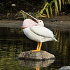 This is an American White Pelican. The bones of the lower mandible are flexible and bow outwards when the bill is drawn through the water, allowing more than three gallons of water to enter the pouch. Pelicans frequently lower their heads onto their shoulders with their bill open, pulling their heads back, and stretching their pouchs over their throat and neck, as shown in this image.