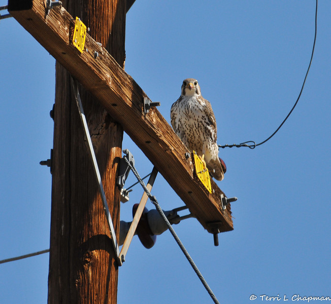 A Prairie Falcon using a telephone pole to scout the area for a meal. This falcon was photographed in Valyermo, CA.