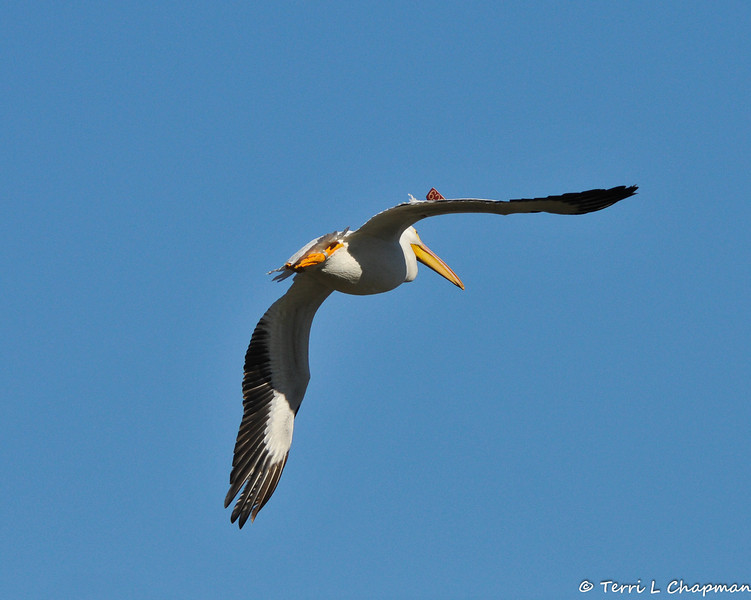 Banded and tagged American White Pelican #5C9 in flight
