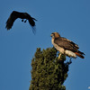 This is one photograph, of seven photographs presented, of a Red-tailed Hawk being harassed by a crow and taking flight from the top of a cypress tree.