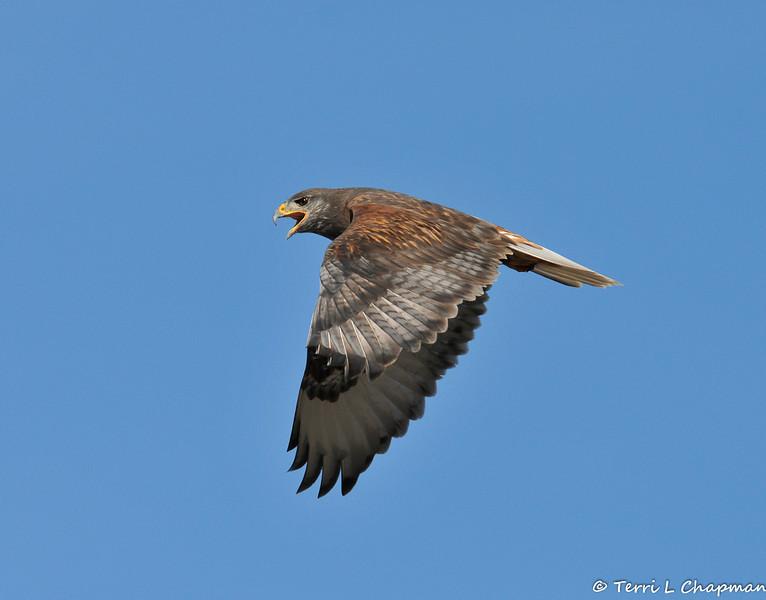 A Ferruginous Hawk (dark morph) photographed in Valyermo, CA