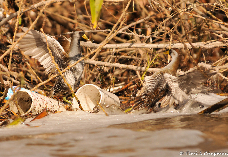 Two Soras fighting over territory in the LA River. Unfortunately, the beauty of these secretive birds is overshadowed by the urban blight of trash always found in the river.