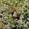 A California Towhee gathering nesting material from a Rosemary bush