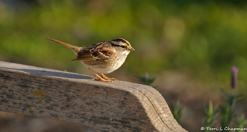A White-throated Sparrow