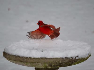 Cardinal takes flight