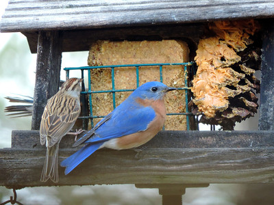Sparrow and Eastern Bluebird