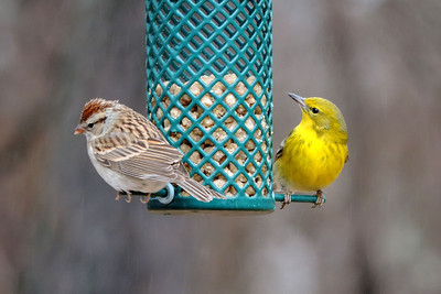 Sparrow and Pine Warbler