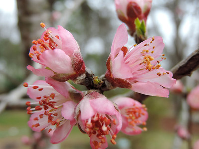 Peach blossoms just opening