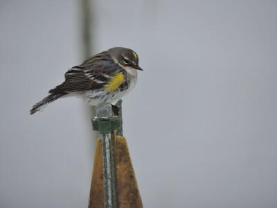 """Yellow-rumped Warbler (AKA """"Butter-butt"""", really--from a bird identification book)"""