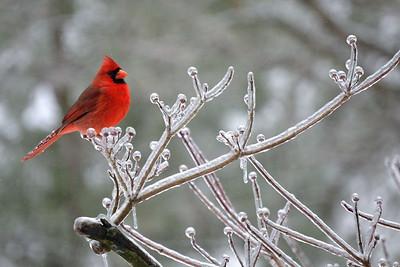 Cardinal, ice storm 2014