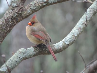 Cardinal. female