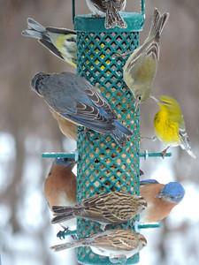Eastern Bluebird, Sparrow, Gold Finch, Pine Warbler