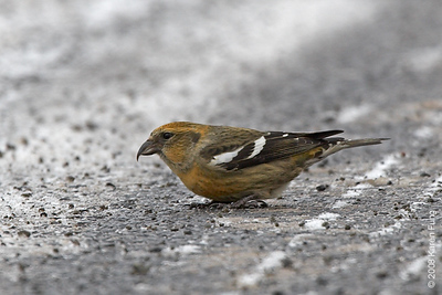 6 December: White-winged Crossbill in Sullivan County