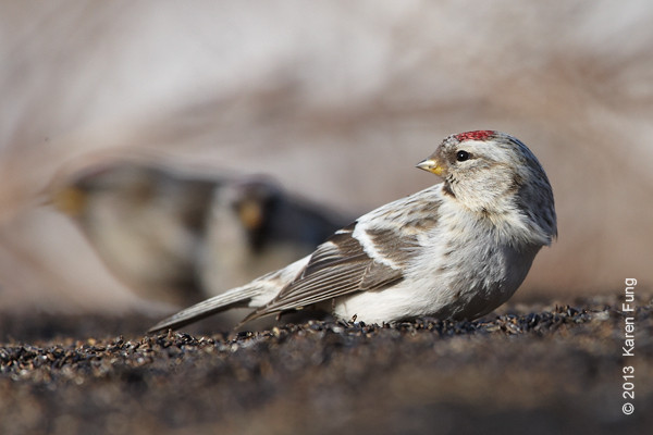 18 February: Hoary Redpoll at Scott Baldinger's feeders (Bashakill)