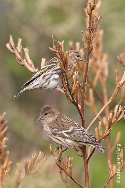 8 October: Pine Siskins at Jones Beach