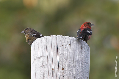 16 August: A pair of White-winged Crossbills in Sullivan County