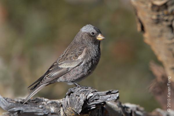 9 December: Black Rosy-Finch (female), Sandia Crest, New Mexico
