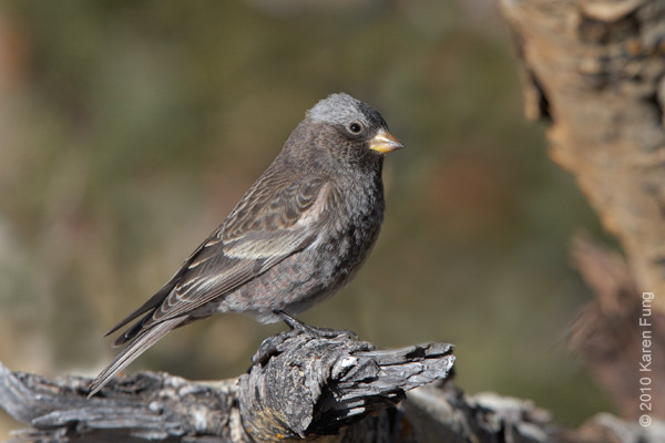 9 December: Black Rosy-Finch (female), Sandia Crest, New Mexico