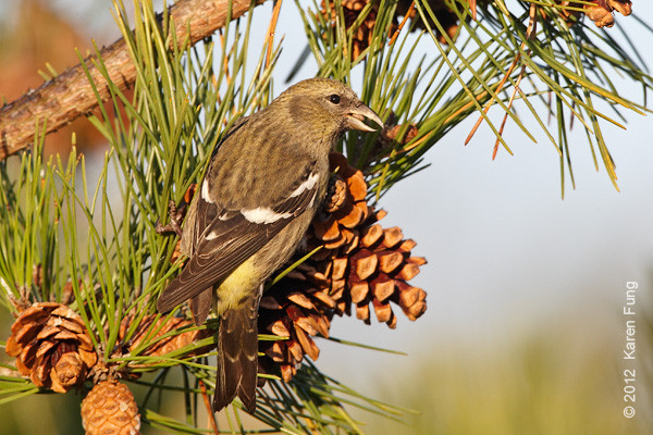 18 November: White-winged Crossbill in Suffolk County