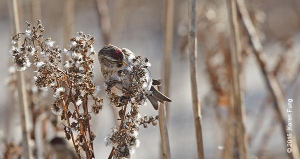 19 Jan: Common Redpoll at Tiana Beach