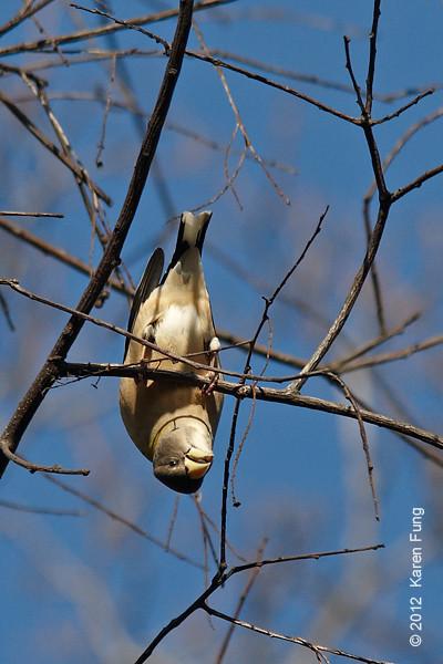 "4 November: Evening Grosbeak in Central Park (Great Hill, SE ""blowdown"" meadow)"