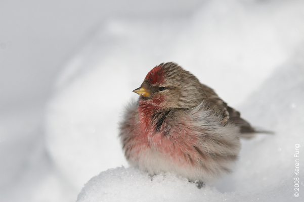 16 February: Common Redpoll in the snow; Sullivan County, NY