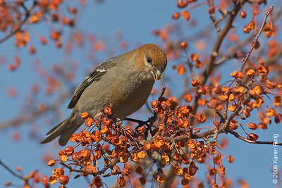 20 January: Pine Grosbeak (russet-type female or young male) in Grahamsville, NY