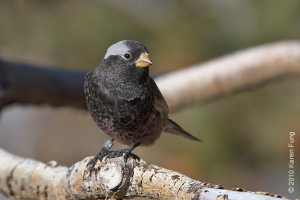 9 December: Black Rosy-Finch (male),  Sandia Crest,  New Mexico