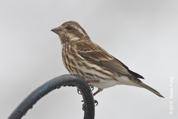 12 January: Purple Finch in Sullivan County