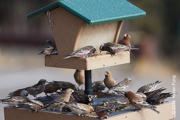8 January: Rosy-Finches at Sandia Crest