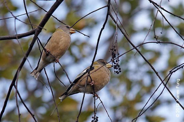 """4 November: Evening Grosbeaks in Central Park (Great Hill, SE """"blowdown"""" meadow)"""